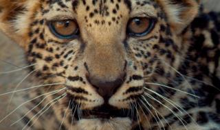 شبل النمر العربي يكمل لوحة الجمال وينضم إلى عائلة نمور العلا