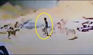 شاهد.. كلاب ضالة تهاجم طفلاً في حي البوادي بتبوك