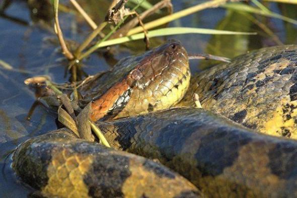 شاهد: ظهور ثعبان أناكوندا عملاق في الهند